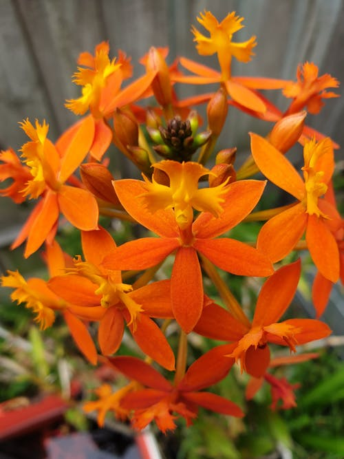 Free stock photo of crucifix orchid, orange color, Orange Orchid