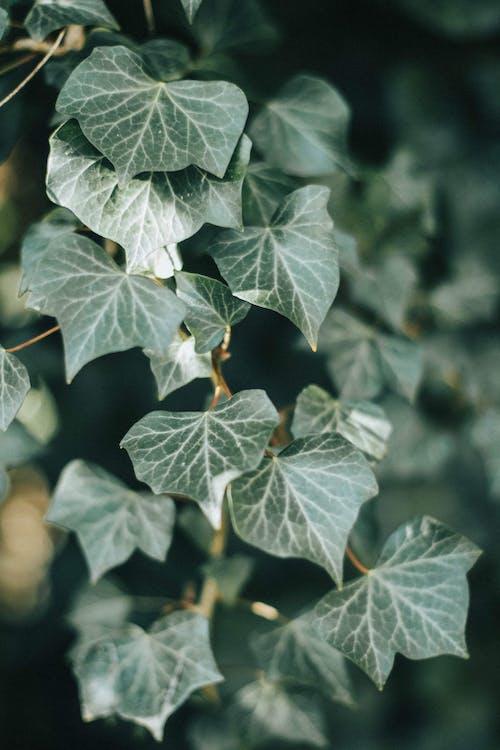 Green leaves of ivy growing in garden