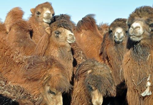 Free stock photo of cammelli, foto di gruppo, fotografia di viaggio