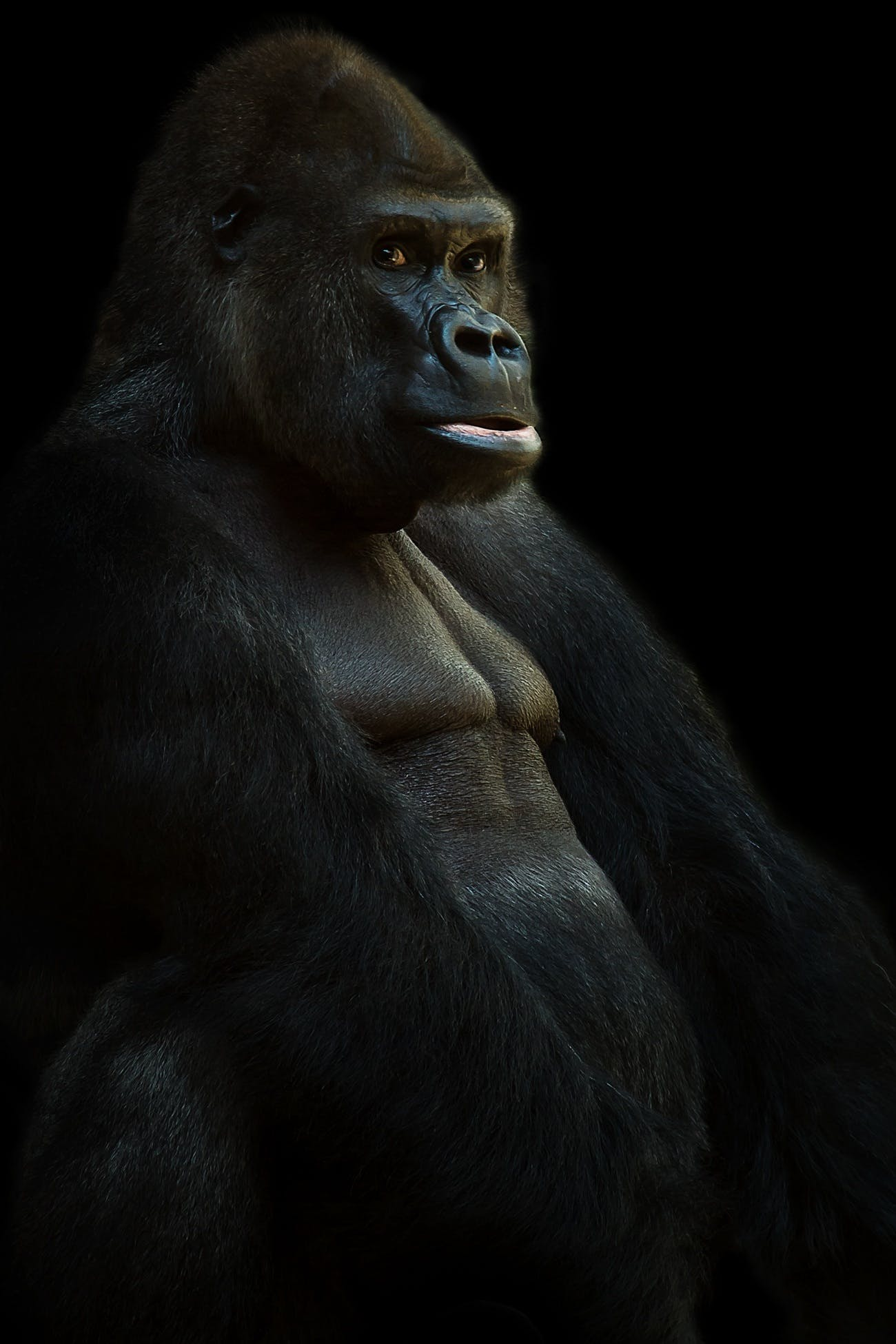Kostenloses Stock Foto zu affe, gorilla, primas, tier