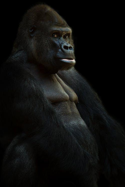 Immagine gratuita di animale, fotografia di animali, gorilla, primate