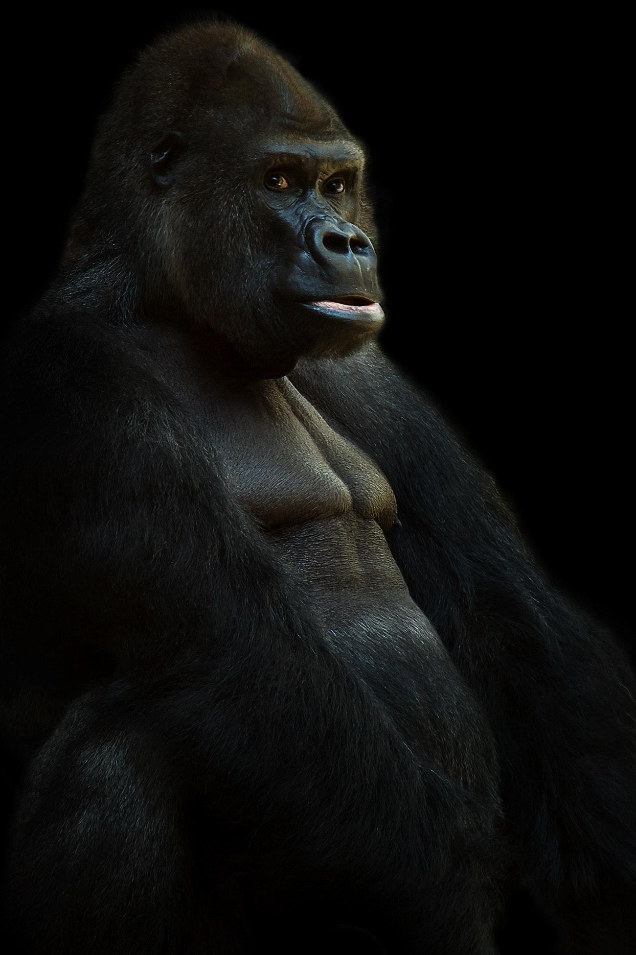 Sort Gorilla Gratis Stock Foto-3282