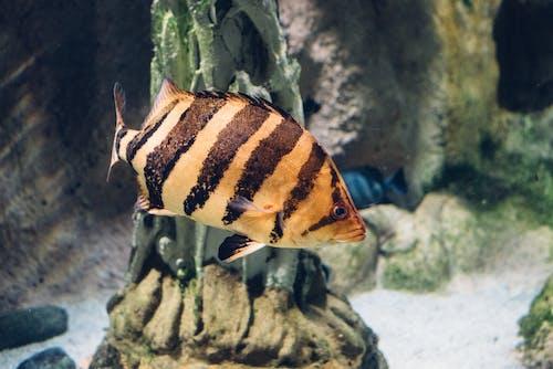 Ingyenes stockfotó akvárium, csíkok, hal, halak témában