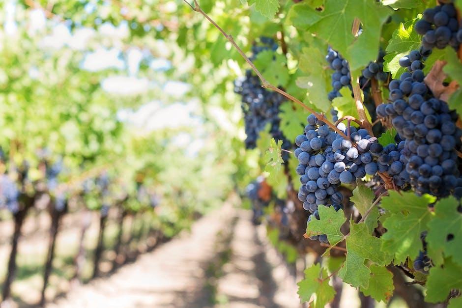 Grapes on Vineyard during Daytime
