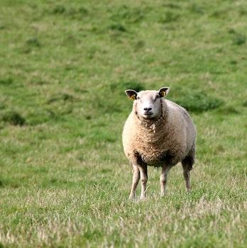 Free stock photo of animal, grass, meadow, sheep