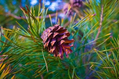 Free stock photo of drzewa, gałąź, las, szyszka