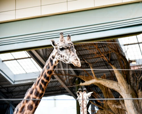Giraffe In A Zoo