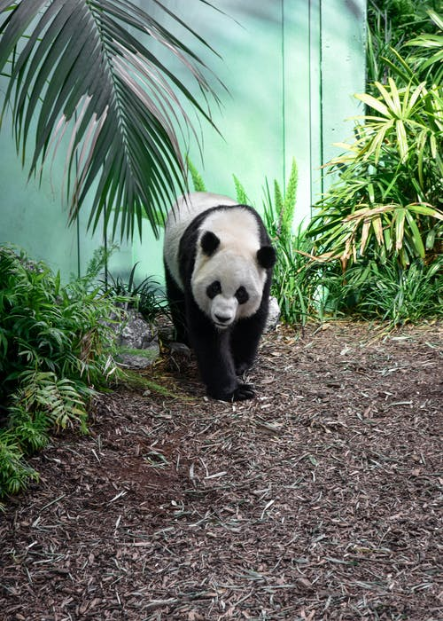 Panda on Ground Near Green Plants