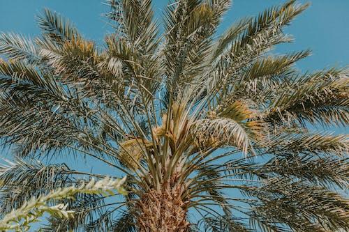 데이트 팜, 야자나무, 야자수, 열대의의 무료 스톡 사진
