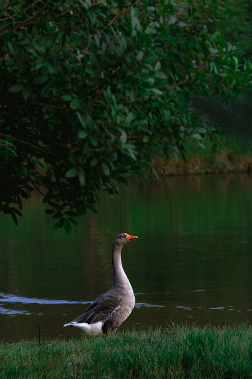 Grey Duck on Water Near Green Leaves