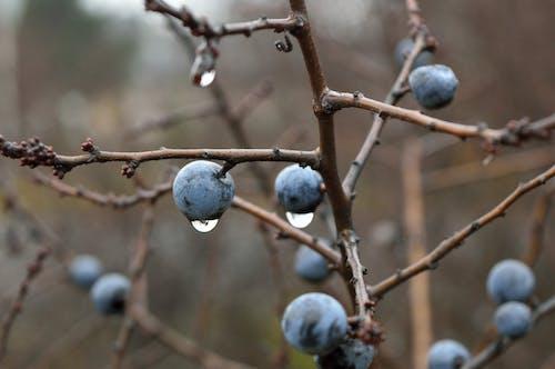 Δωρεάν στοκ φωτογραφιών με blackthorn, prunus spinosa, βλαστός, γκρο πλαν