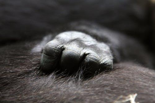 Gratis stockfoto met aap, blurry, close-up, concentratie