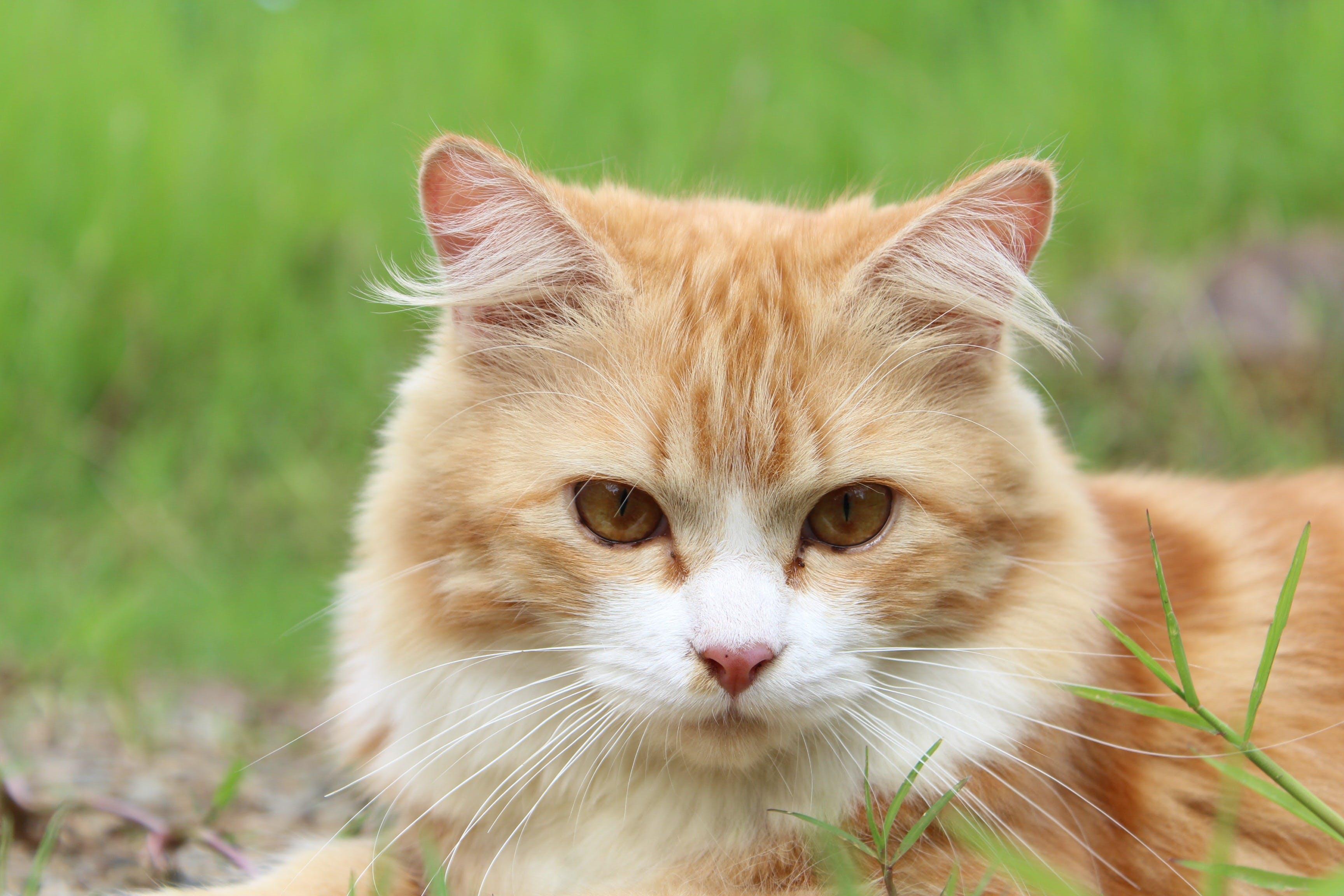 Orange Tabby Cat in Macro Lens