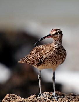 Free stock photo of bird, animal, fauna, whimbrel