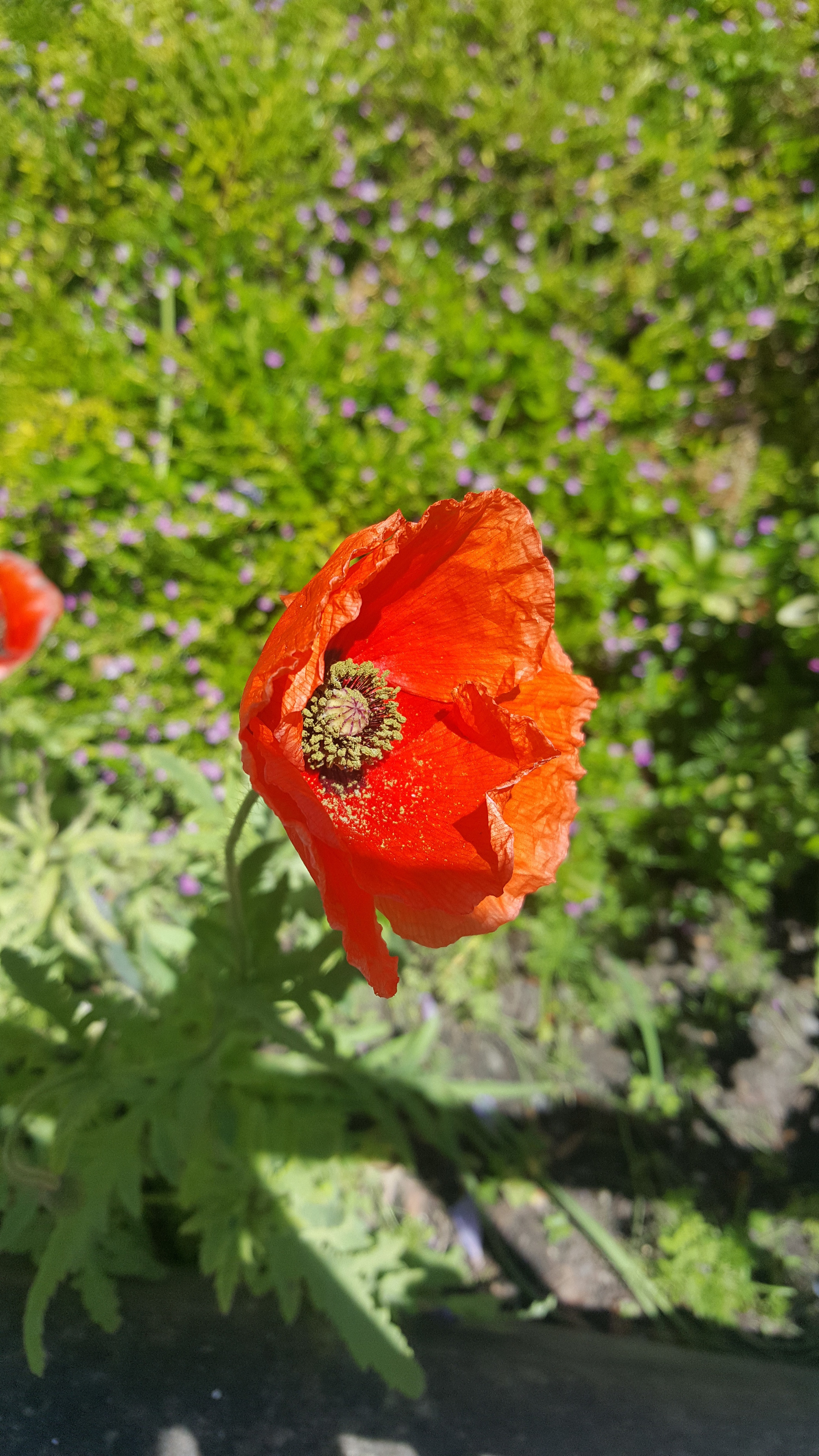 Free Stock Photo Of Natural Poppy Flowers Red Flowers