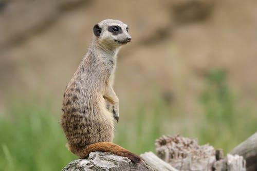 Photo Of A Meerkat