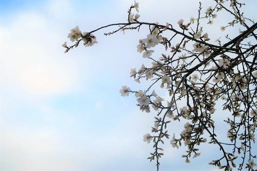Free stock photo of ağaç, ağaç dalı, bahar, beyaz