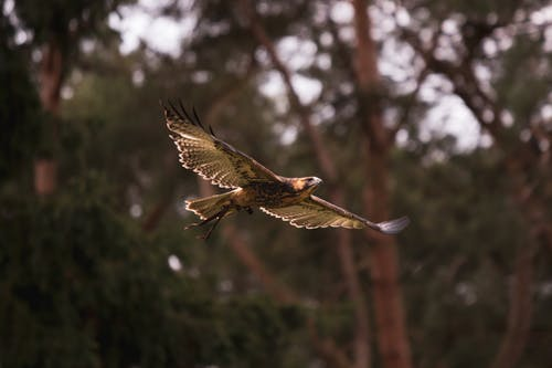 Free stock photo of bird, bird of prey, eagle