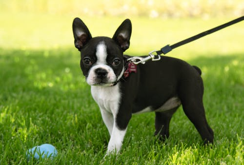 Black And White Boston Terrier On Green Grass Field