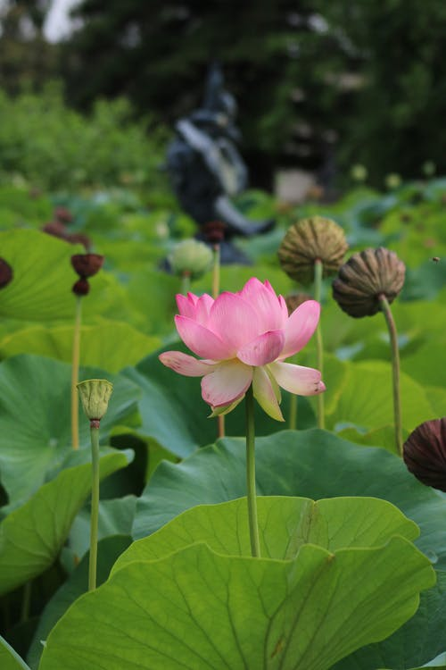 Free stock photo of aquatic plant, aquatic plants, botany, fountain