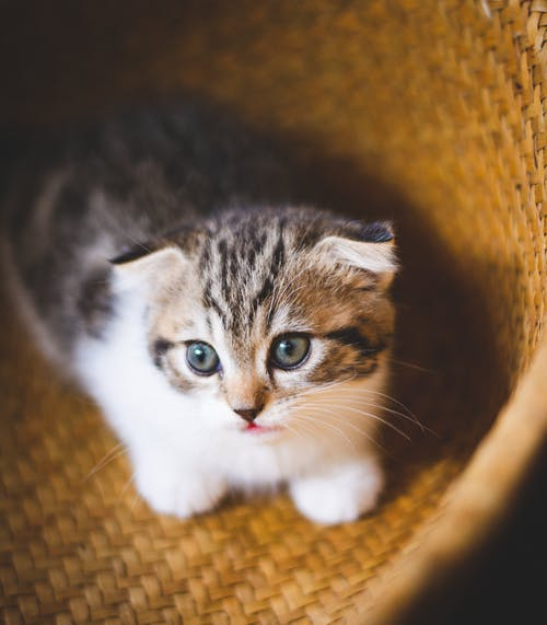 小貓, 蘇格蘭折 的 免費圖庫相片