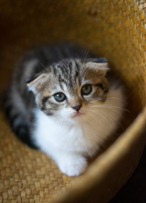 abby Kitten In A Basket