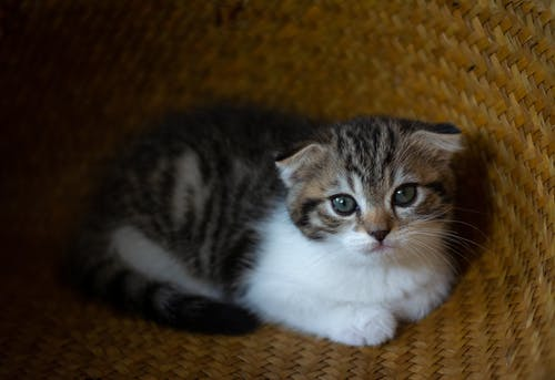 Free stock photo of cat, kitten, scottish fold