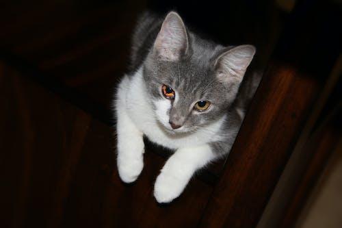 Immagine gratuita di ciao kitty, gatto, giallo, occhio