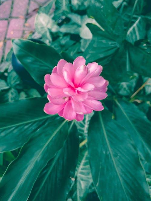 玫瑰, 綠色, 花 的 免费素材照片
