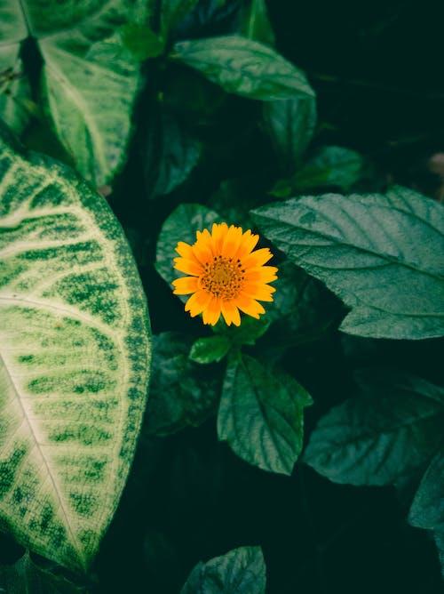 向日葵, 綠色, 花, 黃色 的 免费素材照片