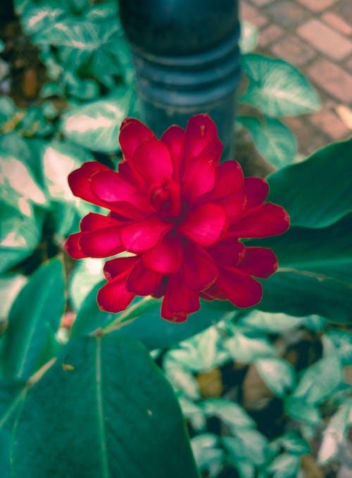 玫瑰, 紅色, 綠色, 花 的 免费素材照片