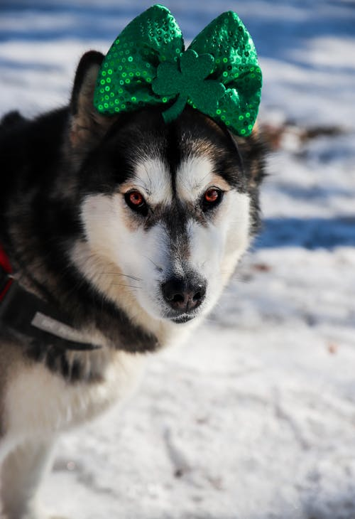 Black And White Siberian Husky With Green Ribbon On Head