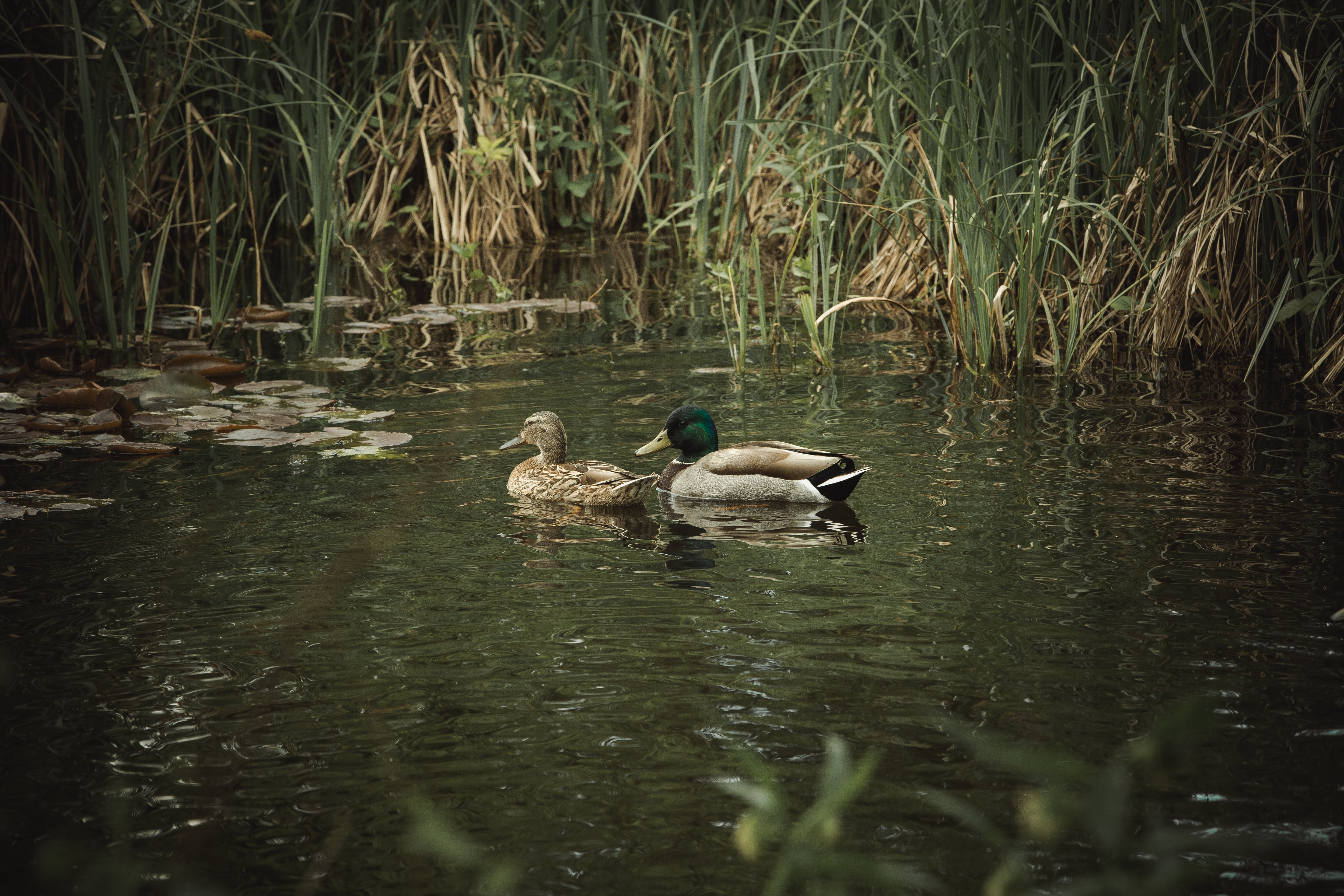 Free stock photo of ducks, nature, pond, reeds