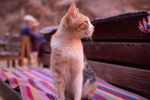 Základová fotografie zdarma na téma bílá kočka, číča, divoká kočka, kočičí obličej