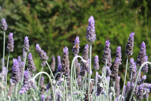Безкоштовне стокове фото на тему «Бджола, Пурпурна квітка, сад, фіолетовий»