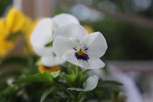 Безкоштовне стокове фото на тему «Біла квітка, насильницький, сад»