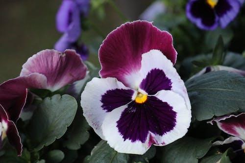 Безкоштовне стокове фото на тему «пурпурні квіти, фіалка»