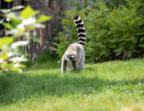 Gray And White Animal On Green Grass