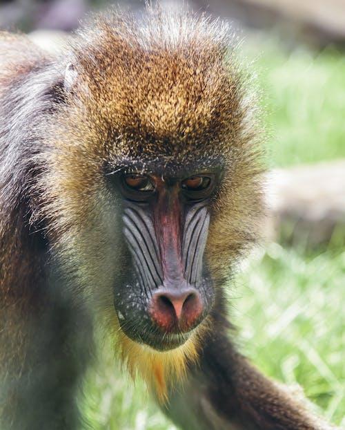 Close-up Shot Of Brown Monkey
