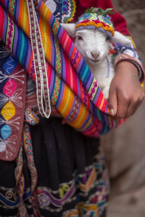 Kostenloses Stock Foto zu alpaka, amerika, bolivien, haustier