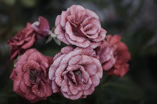 Close up picture of pink flower free stock photo pink petaled flowers close up photography mightylinksfo