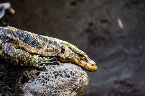 Reptile Sur Gray Rock