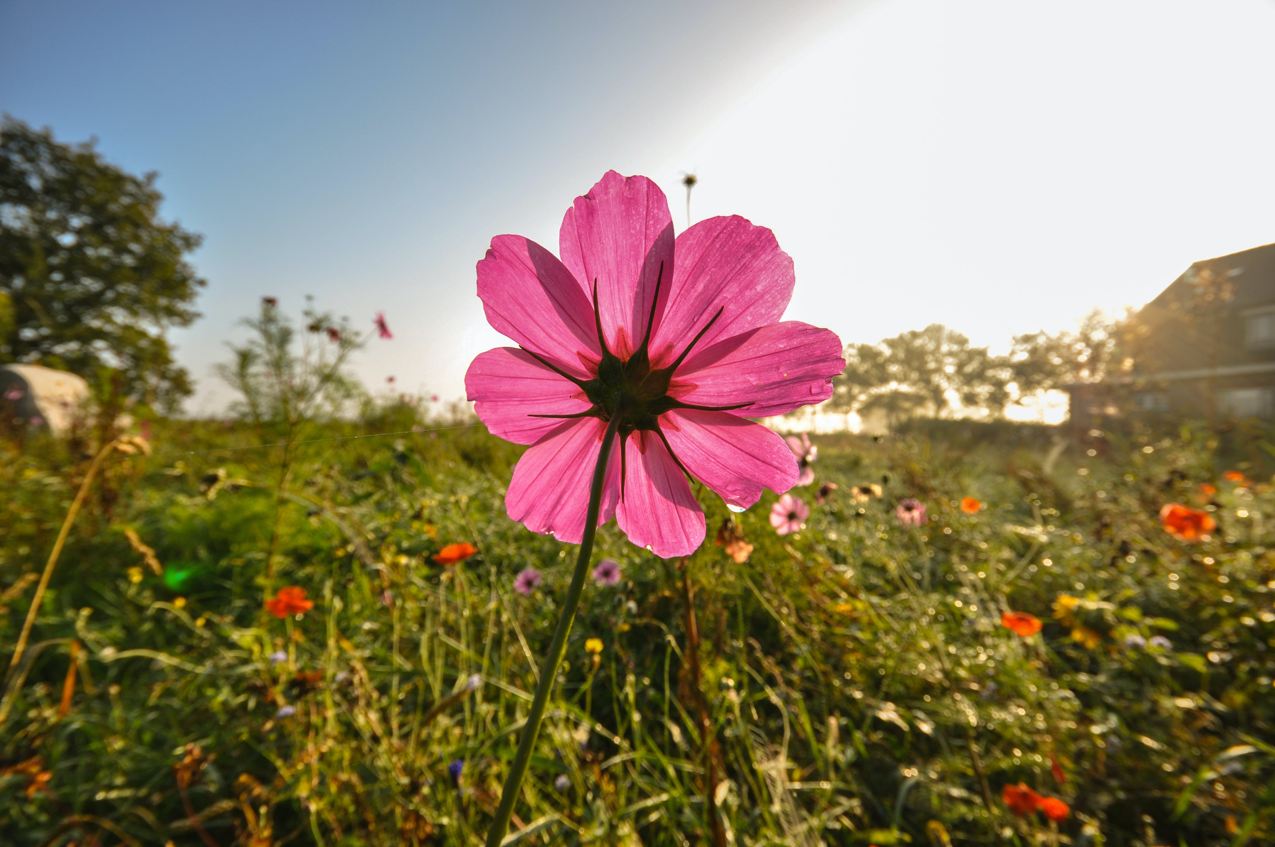 Close-up Photography of Pink Cosmos Flower Under Blue Sky
