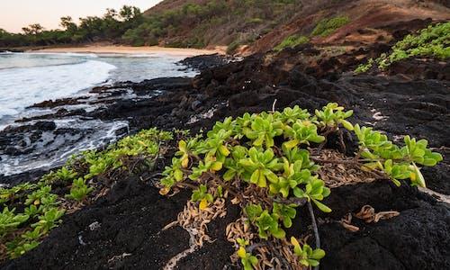 Δωρεάν στοκ φωτογραφιών με maui, rock, scaevola taccada, ακτή