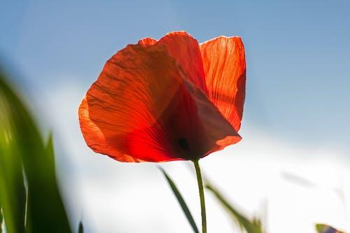 Imagine de stoc gratuită din floare, floare de mac, floră, mac