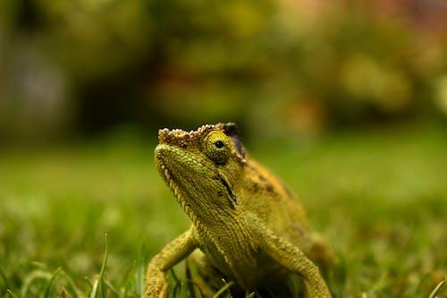 Green Chameleon On Green Grass