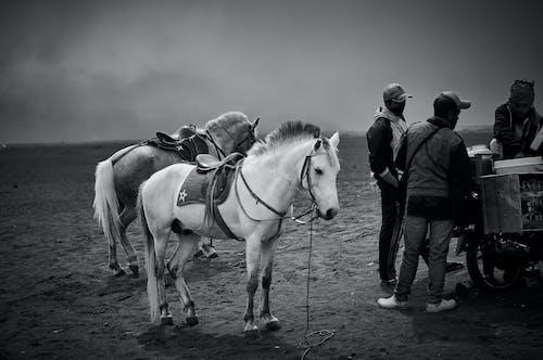 Fotos de stock gratuitas de animal, blanco y negro, caballería, caballo