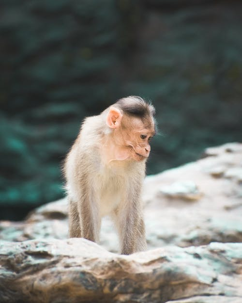 Brown Monkey On A Rock