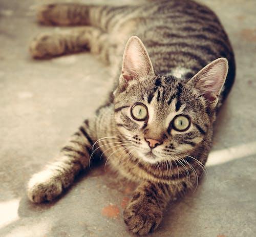 Gray Tabby Cat Lying on Floor