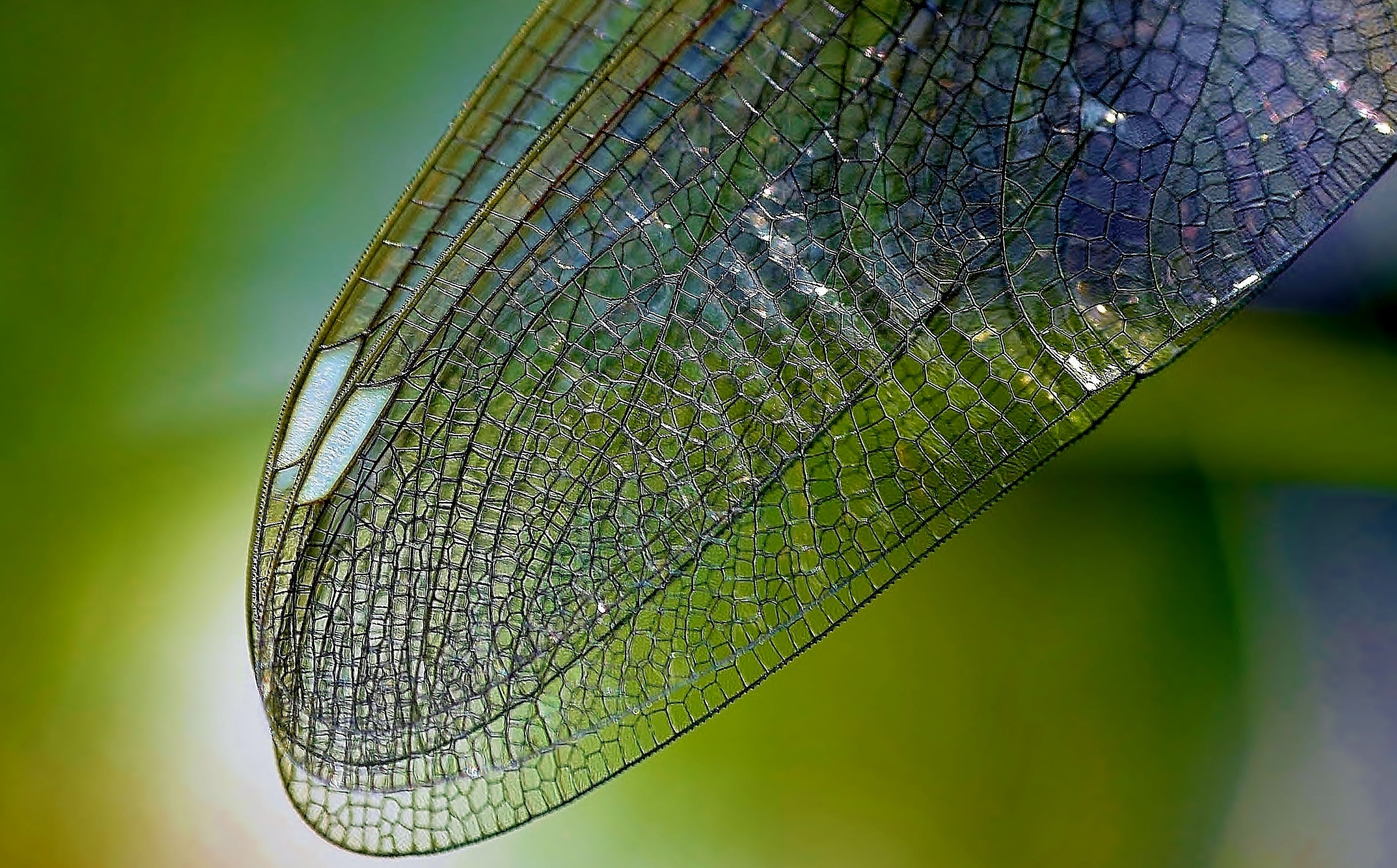 Macro Photography of Dragonfly's Wings